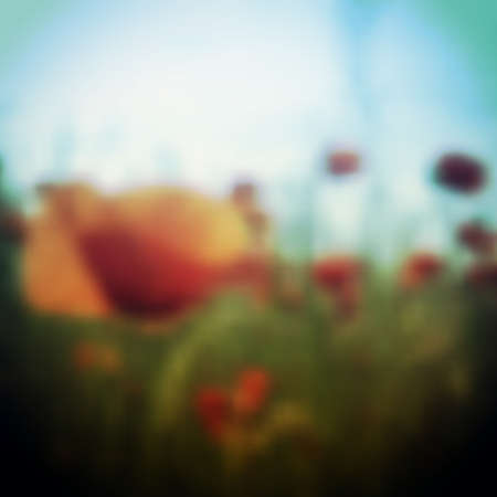 poppy field: Blurred Poppy Flower Field Background Template