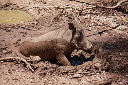 Wild Boar in Mud photo