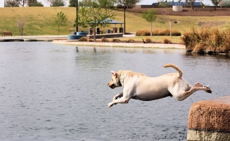 Blond labrador retriever jumping off a dock into water, wearing a collar  photo