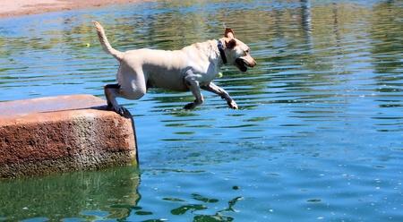 air jump: Blond labrador retriever jumping into water, wearing a collar  Stock Photo