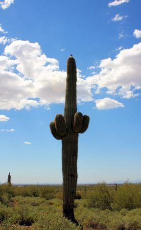 Bird Sitting Atop A Saguaro