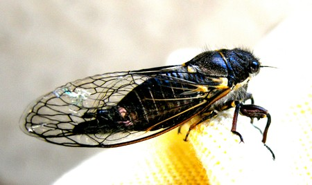 Cicada insect appears every 13 to 17 years Stock Photo