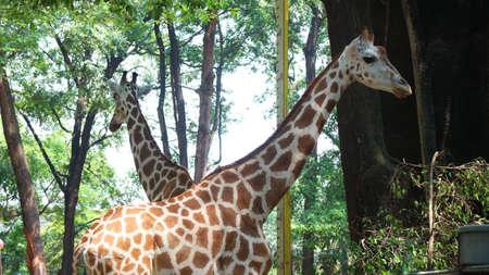 Giraffe with the Latin name Giraffa