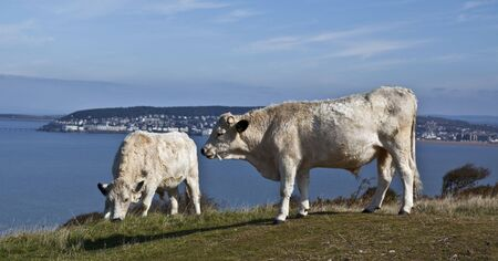 brean: Cattle grazing on Brean Down with Weston Super Mare in the background Stock Photo