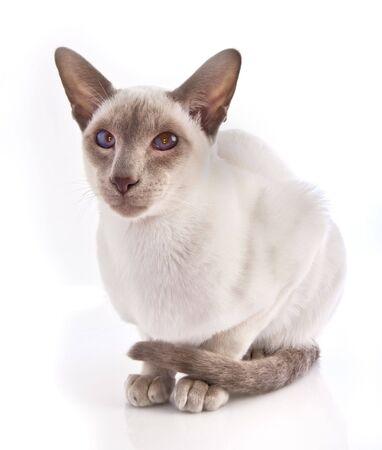 lilac point Siamese kitten on white background  photo