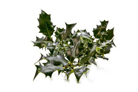 Europea del acebo (Ilex aquifolium) deja sin frutas (bayas) Foto de archivo - 11814068