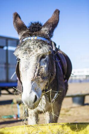 Donkey Eating Hay On Weston-Super-Mare Beach photo