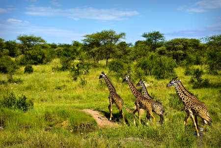 A group of giraffes crossing a stream in Serengeti photo