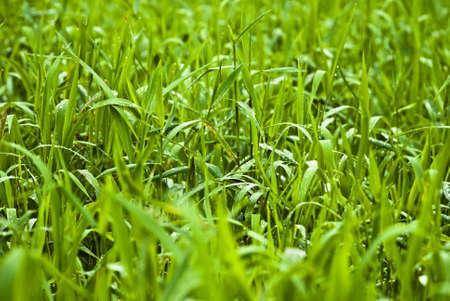 A close up of long green grass