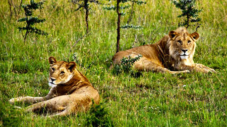 A male and a female lion resting in green grass