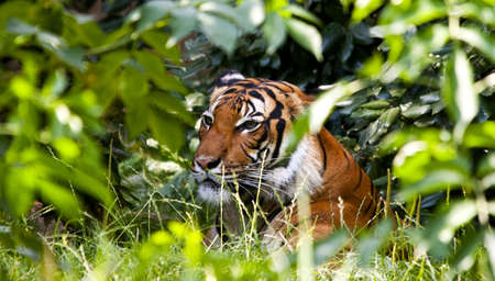 A tiger resting in the shade of green vegetation