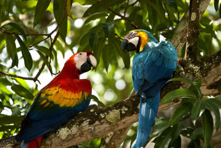 Two colorfull macaw parrots preched on a branch