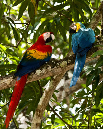 Two colorfull macaw parrots preched on a branch photo