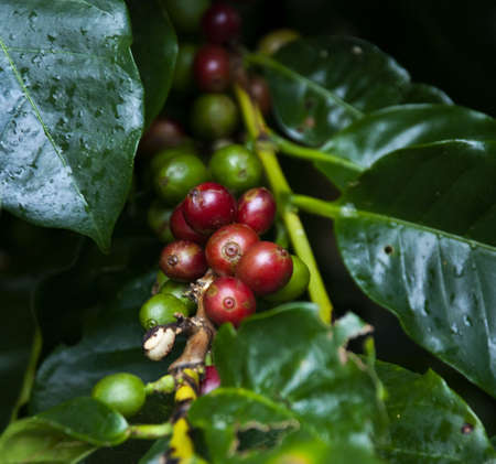 colombian food: Red coffebeans on a branch with green leafs