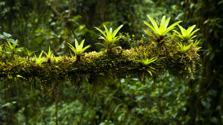 Several Bromelias growing on a treebranch with dense jungle in the backgound