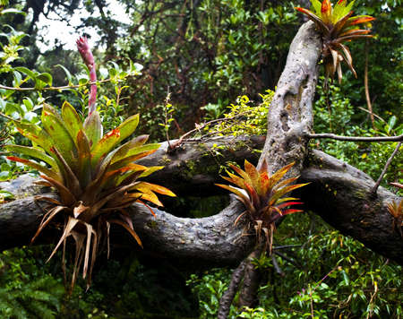 Several bromelia plants growing on a branch Stock Photo
