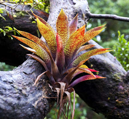 A bromelia growing on the side of a branch Stock Photo