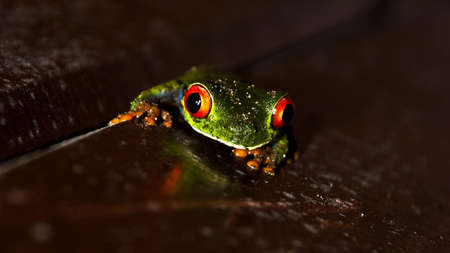 a red eyed tree frog on a wooden surface