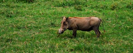 an african warthog standing in green grass photo
