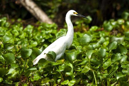 a White Egret standing in green vegetation Stock Photo - 7656235