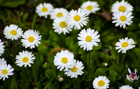 green vegetation: White and yellow daisies with green vegetation in the background Stock Photo