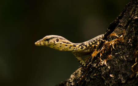 a monitor lizard looking from behind at tree