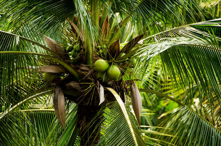 a closeup of coconuts in a green palm tree Stock Photo