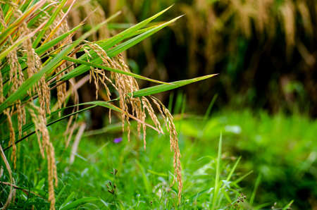 rice corns ready for harvest on a field