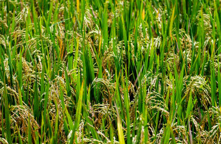 rice corns ready for harvest on a field in asia