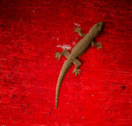 suface: A gecko lizard on a rough red suface in Bali