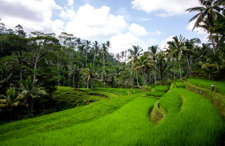 Rice paddies and vegetation in bali with blue sky and clouds