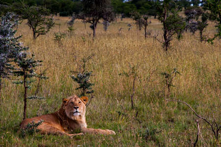 a male lion resting in serengeti national park, Tanzania