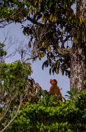 proboscis: a proboscis monkey sitting in a tree in borneo