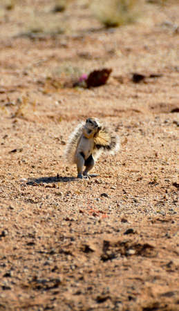 an african ground squirrel standing on its back legs eating photo