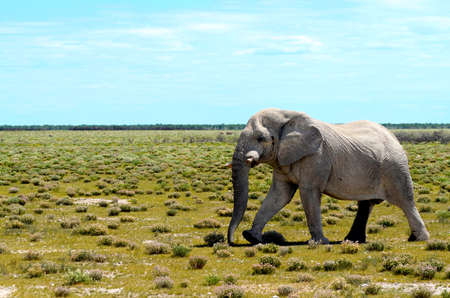 An old bull elephant walking in the plains of Etosha