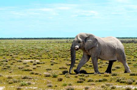 big5: An old bull elephant walking in the plains of Etosha