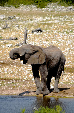 big5: An African elephant drinking water out of a water hole in Etosha national Park in Namibia Stock Photo