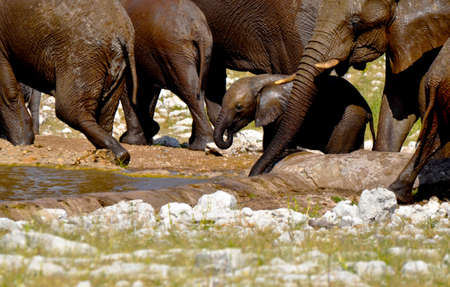 An African baby elephant drinking water at a waterhole in Etosha National Park in Namibia