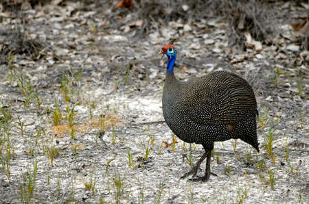 an African Guineafowl in Etosha National park in Namibia