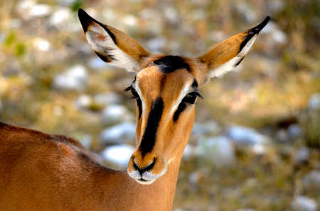 a close up of an antelope in southern africa Stock Photo