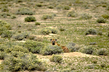 spoted: a spoted hyena in the Etosha national park