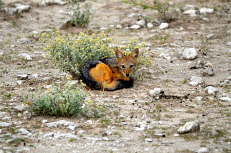 A Black-backed Jackal resting in Etosha national park in Africa Stock Photo