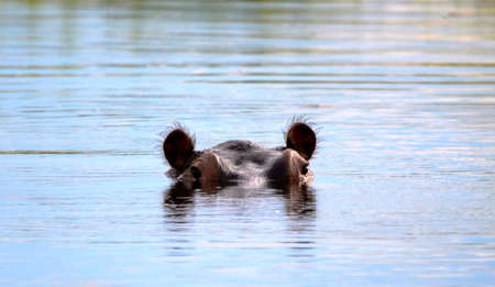 An african hippo in water looking with ears listening Stock Photo