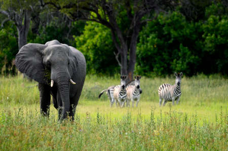 An african elephant feeding with zebras in the background