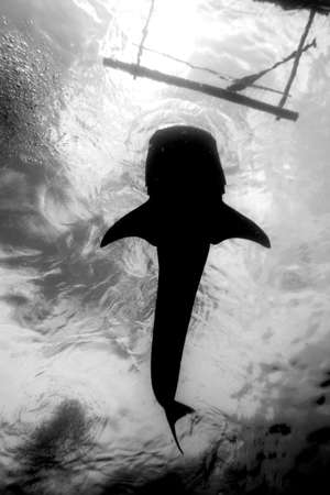 A black and white photo of a whale shark from below Stock Photo