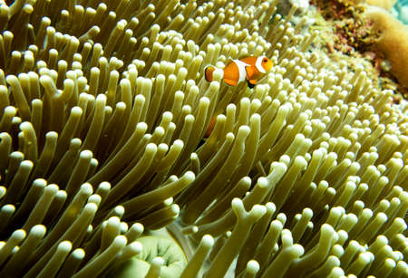 A clown fish swimming above a sea anemone
