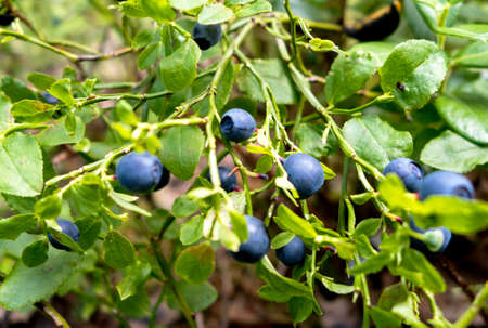 ripe blueberries on a green blueberry bush