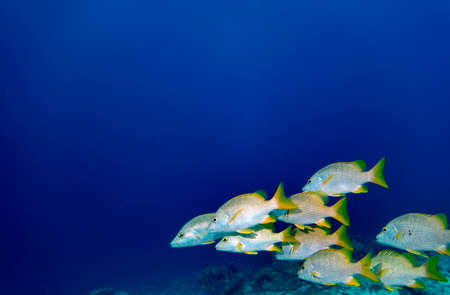 A group of Schoolmaster snapper in the blue waters of Bonaire in the Caribbean Stock Photo