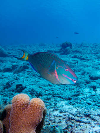 A Stoplight Parrotfish in the tropical waters of Bonaire in the Caribbean