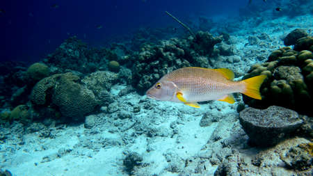 A Schoolmaster snapper swimming in the tropical blue waters of Bonaire in the Caribbean Stock Photo